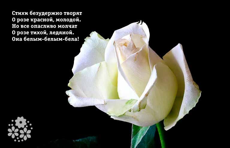 стихотворение о розе оттенки персика